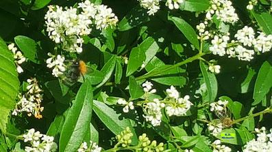 Baumhummel und Biene an den im Sonnenschein leuchtenden, weißen Blütes des Liguster. Von K.D. Michaelis