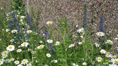 Wildblumen-Saum zum Schutz von Bestäuber-Insekten (u.a. mit Gemeinem Natternkopf und Margeriten) von K.D. Michaelis