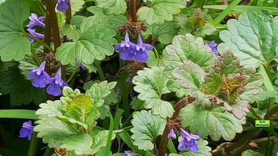 Nahaufnahme der dunkellila Blüten des Gundermanns nebst seinem grünen Laub von K.D. Michaelis