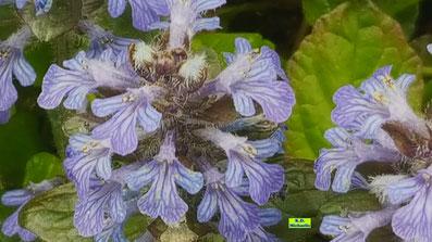 Nahaufnahme der blau-violetten Blüten des Kriechenden Günsels von K.D. Michaelis