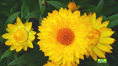 Nahaufnahme gelber Blütenstände einer Strohblume halbgeöffnet und vollständig aufgeblüht von K.D. Michaelis