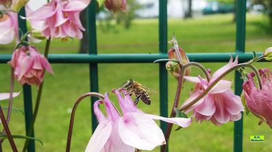 Biene beim Nektartrinken aus dem Sporn einer rosa Akelei von K.D. Michaelis