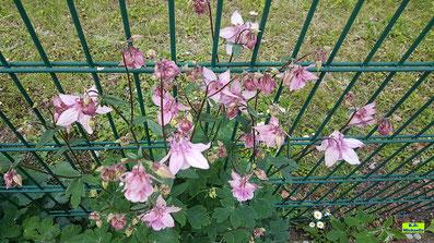Rosa Blüten und grüne Blätter der Akelei als Horst von K.D. Michaelis