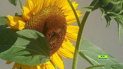 Sonnenblume mit zwei Honigbienen im Vorgarten von K.D. Michaelis