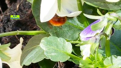 hübscher, pelziger Popo einer gehörnten Mauerbiene von K.D. Michaelis