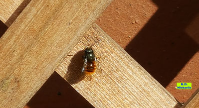 Gehörnte Mauerbiene bei einer kleinen Pause zwischen den Gängen auf dem Rankgitter meines Pflanzgefäßes auf dem Balkon von K.D. Michaelis