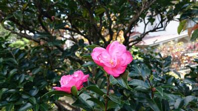 山茶花も咲き始まました。