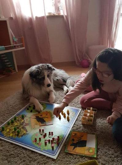 Australian Shepherd Teddy und Milah spielen