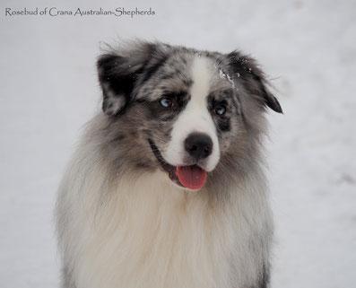 Australian Shepherd Rosebud of Crana Teddy