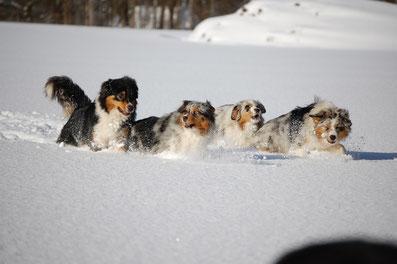 Australian Shepherds toben durch den Schnee