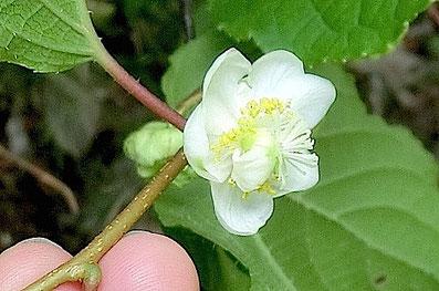 マタタビ 花