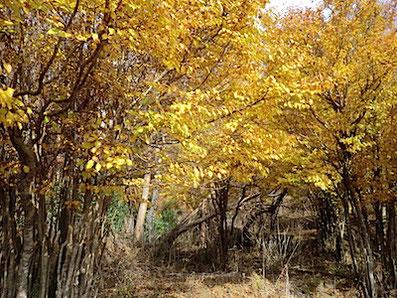 アブラチャンの黄葉