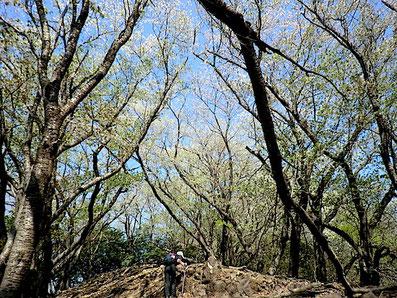442ピーク〜冷川トンネル上・桜の尾根道