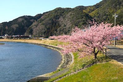 青野川とみなみの桜