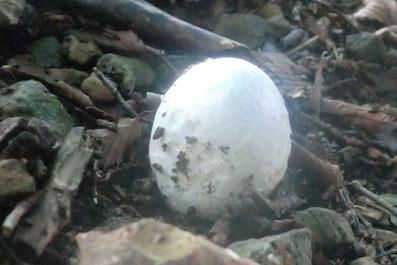 タマゴダケ 幼生の時は本当に卵のようです。