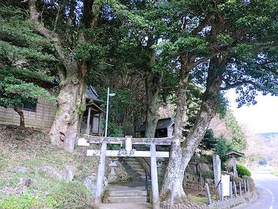 火雷神社の大タブノキ