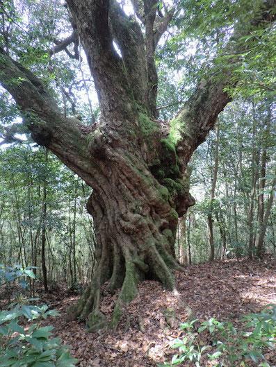 大カシ(樹齢500年)