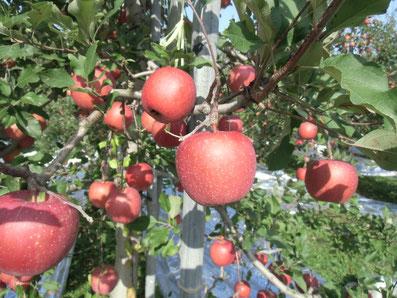 青森県 津軽地方 提携りんご園