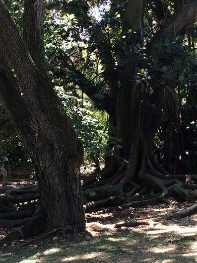 Botanischen Garten Jardim Botânico da Ajuda in Belem, Lissabon