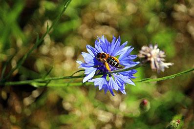 Wildbiene auf blauer Konblume