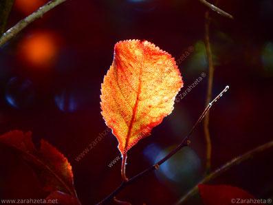 Rotes und gelbes Herbstlaub an einem Baum, angestrahlt von der Sonne