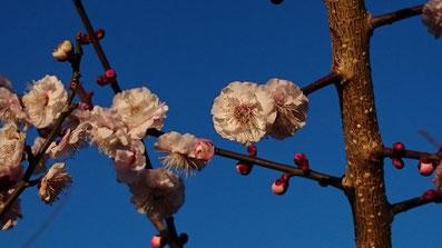 『ミスなでしこⓇGT』の梅花