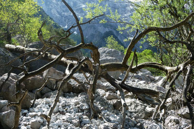 Nationalpark Gesäuse, umgestürzter Baum im Bachbett, Kalkalpen
