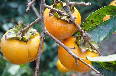柿のしぶ抜きの特徴について