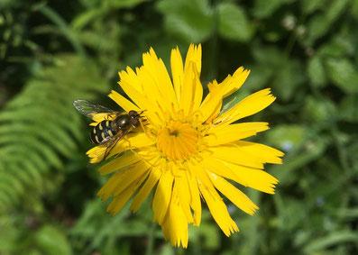 Wunderwerk Wildbiene