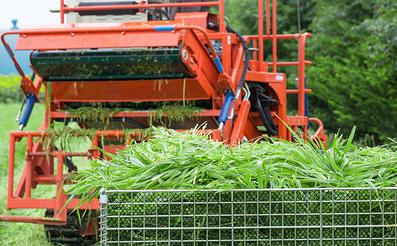 北海道大麦若葉刈り取り