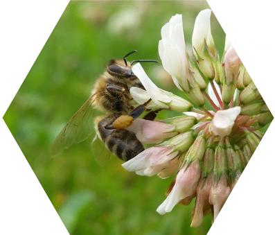 Gerade in Kärnten, dem Ursprungsland unserer Carnica Biene, Apis mellifera Carnica oder auch Kärntner Biene genannt, wird besonderer Wert auf den Erhalt unserer imkerfreundlichen Bienenrasse gelegt