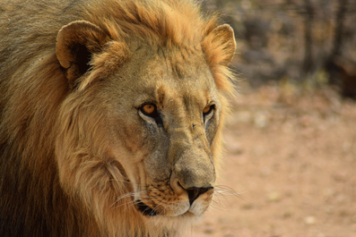 Is Namibia Worth Visiting - Wildlife - Lion
