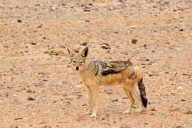 2 Weeks in Namibia - Your Ultimate Itinerary - Jackal at Cape Cross