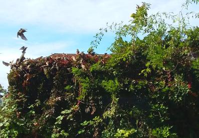 Ein ganzer Schwarm Stare,  die sich an den Beeren des Wilden Weins sattfressen von Carola Hauf