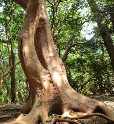 ヒメシャラの大木