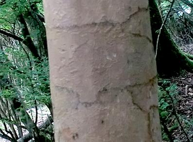 ヒコサンヒメシャラの木肌