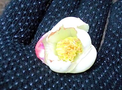 ヒコサンヒメシャラの花