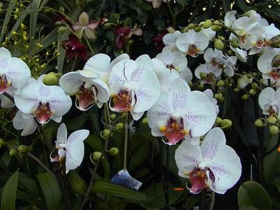 Orchideen aus unserem Warmhaus