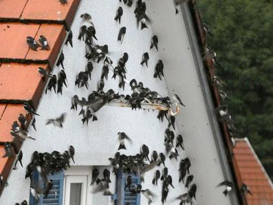 Ziehende Mehlschwalben an Hausfassade, Foto: NABU/Rudi Apel