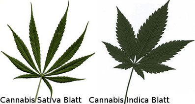 Hanf Cannabis Sativa / Cannabis Indica Blätter