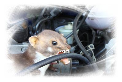 Marder Biss Auto Marderschaden Mader Marder im Motor