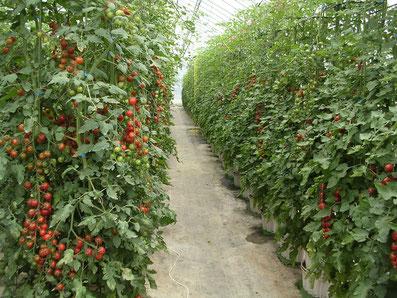 だんだんポット栽培のトマト