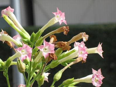 これがタバコの花です。