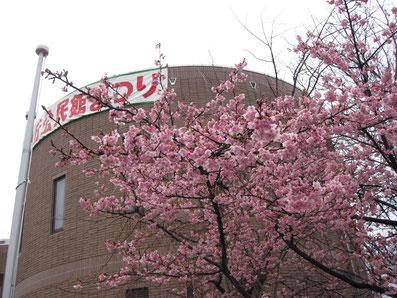 南が丘公民館の桜