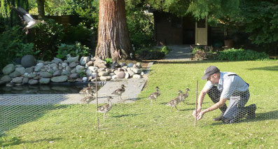Nilgänse Vogelschutz Artenschutz NABU Düren