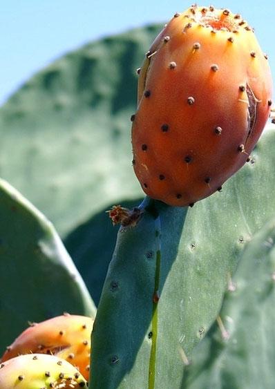Kaktusfeige, Kalabrien im Sommer, Rundreisen