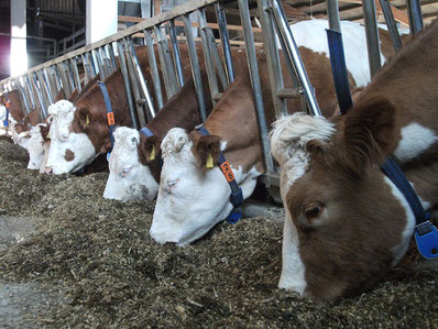 Fütterung Milchkühe Bechtle Hof