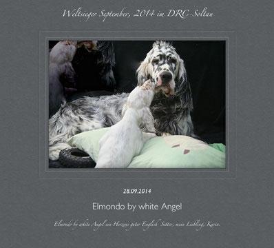 English Setter Elmondo by white Angel, Englisch - Amerikanisch Linie,  ein liebevoller und geduldiger Vater. Er ist der Vater von vier tollen Würfen.