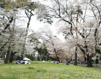 埼玉県 大宮公園 桜