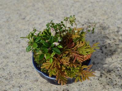 7月18日(火)の草物盆栽では、盆栽の下草にも使われるクラマシダもしくは黄金シダや、夏から秋口まで楽しめる山野草など3種類を植え込んでいただきます。 また山野草を引き立てる小洒落た鉢もご用意していますのでお楽しみに。